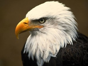 The federally protected bald eagle population is on the rise in Georgia