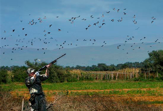 hunting dove: