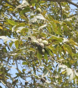 Pictured are some pecans in a tree located at the UGA Ponder Farm in Tifton, Ga.