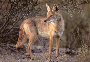 coyote-WEB