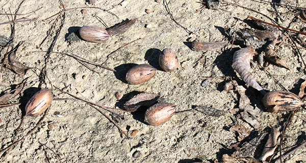 Pecans lie on the ground at an orchard on the University of Georgia Tifton campus in December, 2013.