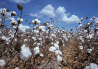 cotton_in_field