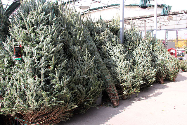 Tips For Choosing The Best Live Christmas Tree